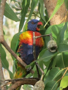 Rainbow lorikeet in swamp bloodwood